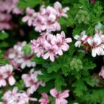 Pelargonium sidoides – tradice bylin v moderní medicíně