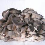 Hlíva ústřičná – houba, která umí zázraky