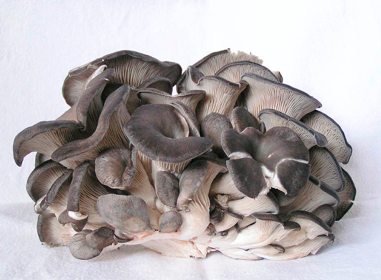 houba hliva ustricna
