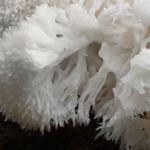 Na žaludeční vředy pomůže korálovec ježatý