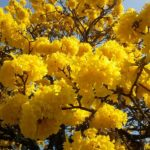 Lapacho a detoxikace organismu