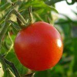 Na křečové žíly vám pomohou rajčata