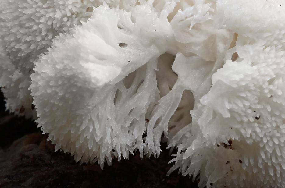 koralovec jezaty